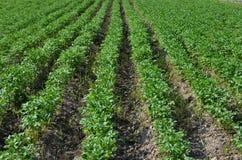 Potato field. Big potato field growing in summer Royalty Free Stock Photos