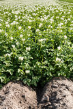 Potato Field in bloom Stock Photography