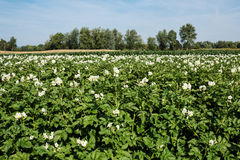 Potato Field in bloom Royalty Free Stock Images