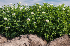 Potato Field in bloom Royalty Free Stock Photos