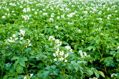 Potato Field Blooming Royalty Free Stock Photography
