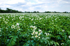 Potato Field Blooming Stock Photos