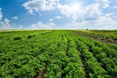 Potato field. With blue sky Stock Photos