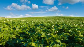 Potato field and blue sky at beautiful day. Green field of blooming potato Stock Images