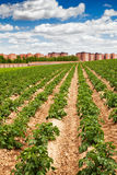 Potato field and city Royalty Free Stock Photography