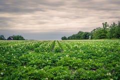 Potato field in cloudy weather. Large potato field in dark cloudy weather Stock Images