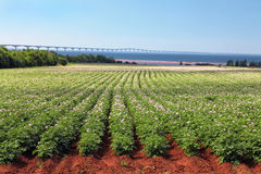 Potato Field & Confederation Bridge Royalty Free Stock Photography