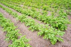 Potato field. Diagonal furrows of potatoes Royalty Free Stock Image