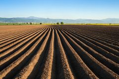 Potato field in the early spring after sowing - with furrows run Royalty Free Stock Images