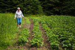 Female farmer in a potato field. Potato field, in a Finnish countryside. The potatoes are planted next to a forest in a very clean environment. A female farmer Stock Photography