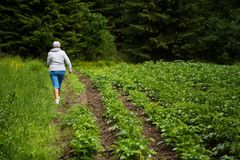 Female farmer inspecting a potato field. Potato field, in a Finnish countryside. The potatoes are planted next to a forest in a very clean environment. A female Stock Image