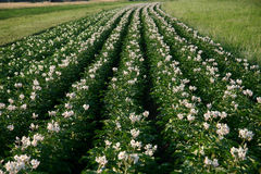 Potato field in flowering time Stock Images