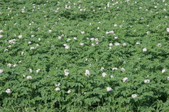 Potato field with flowers Stock Photography