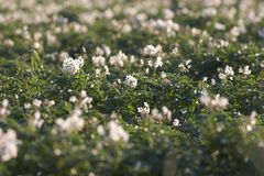 Potato field with flowers Royalty Free Stock Image