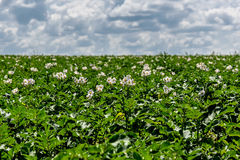 Potato field flowers agriculture. White potato flowers close up on blurred background potato field, sky and clouds Stock Photo