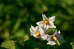 Potato field with flowers. Blossom of potato flowers in the field Stock Photography