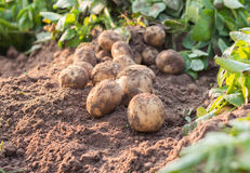 Potato on a field. Freshly dug potatoes on a field royalty free stock photography