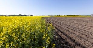 Potato field . furrow Royalty Free Stock Photo