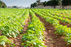 Potato field with green bushes. Rows on Potato field with green bushes Royalty Free Stock Photos