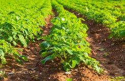 Potato field with green bushes. Rows on Potato field with green bushes Stock Images