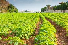Potato field with green bushes. Rows on Potato field with green bushes Royalty Free Stock Photography