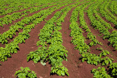 Potato field Royalty Free Stock Photos