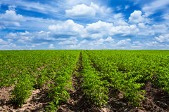 Potato field Stock Photos