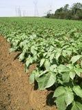 Potato field Stock Image