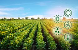 Potato in the field. High technologies and innovations in agro-industry. Study quality of soil and crop. Scientific work and. Development of new methods and stock image