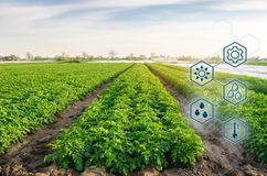 Potato in the field. High technologies and innovations in agro-industry. Study quality of soil and crop. Scientific work and. Development of new methods and stock photos