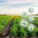 Potato in the field. High technologies and innovations in agro-industry. Study quality of soil and crop. Scientific work and. Development of new methods and royalty free stock photography