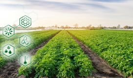 Potato in the field. High technologies and innovations in agro-industry. Study quality of soil and crop. Scientific work and. Development of new methods and royalty free stock photo