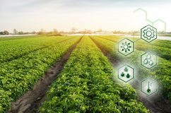 Potato in the field. High technologies and innovations in agro-industry. Study quality of soil and crop. Scientific work and. Development of new methods and royalty free stock photos