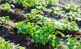 Potato field irrigation sprinkler watering the plants. Royalty Free Stock Images