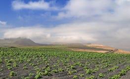 Potato field at black volcanic sand Royalty Free Stock Photography