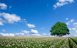 Potato field and lone tree Royalty Free Stock Images