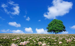 Potato field and lone tree Royalty Free Stock Image