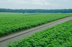 Potato field, monoculture Stock Photo