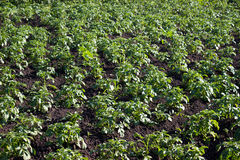 Potato field. In the morning sun Stock Image