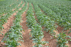 Potato field. Picture of a Potato field on the end of june Royalty Free Stock Photo