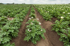 Potato field with plants Royalty Free Stock Photography
