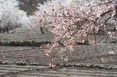 Potato field and plum tree in Leh, India Royalty Free Stock Photo