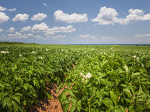 Potato field in Prince Edward Island Royalty Free Stock Images