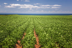 Potato field in Prince Edward Island royalty free stock photography