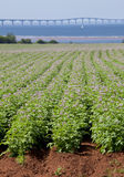 Potato Field Stock Image