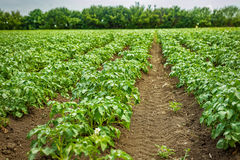 Potato field rows with green bushes. Close up Stock Photography