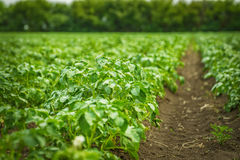 Potato field rows with green bushes. Close up Stock Photos