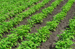 Potato field. Rows of young green potatoes Stock Photography