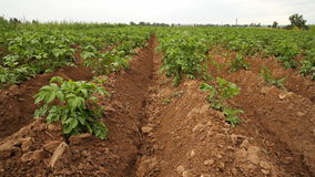 Potato field stock footage