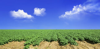 Potato field and sky Stock Images